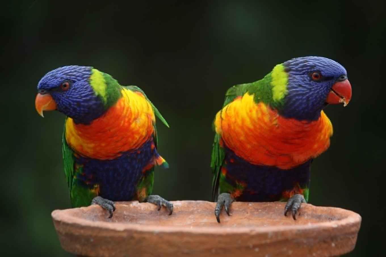 rainbow-lorikeet-parrots-australia-rainbow-37833.jpeg