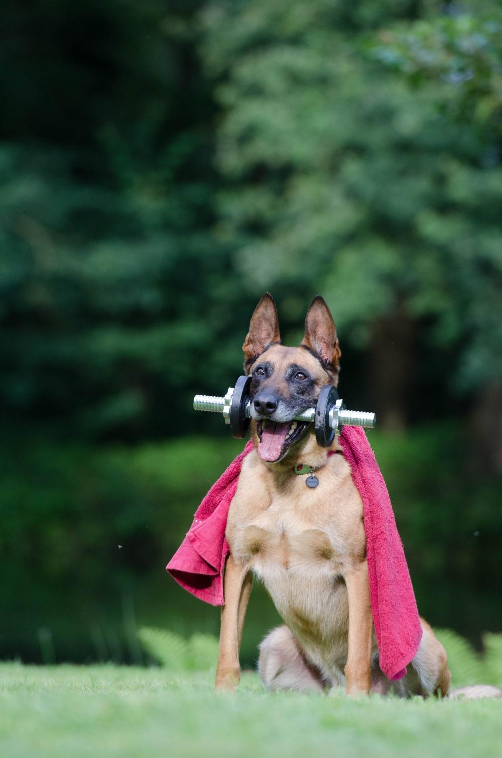 trick-dog-trick-malinois-dog-show-trick-37735.jpeg